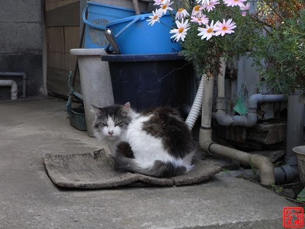 江の島のら猫5