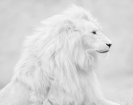 「ホワイトライオン」 神々しすぎて話題に・・・ これ神の使いかなんかだろ
