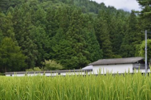 福島の避難区域で田植え「福島の米は安心でおいしい」
