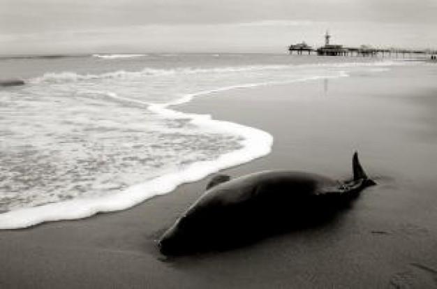 アイスランド北西部のリフ海岸でクジラ100頭が座礁