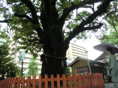 樹齢約600年のスギの古木「二また杉」の幹が折れる