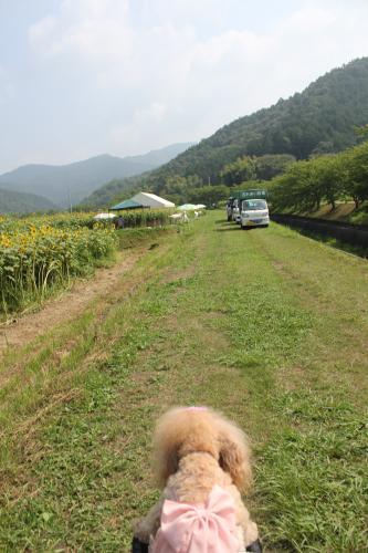 柚遊農園ひまわりまつり