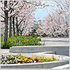 <さくら広場> 2006年の春に誕生したさくら広場は、安藤忠雄氏設計の公園。四季折々の景色を楽しめます。