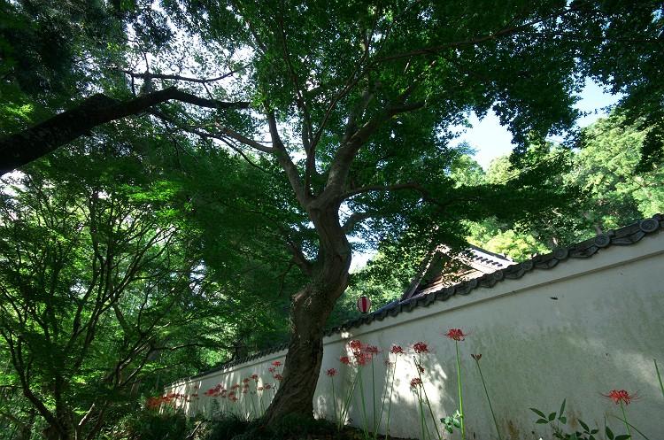 蓮華寺に彼岸花が咲く頃 4