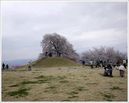 八代桜12