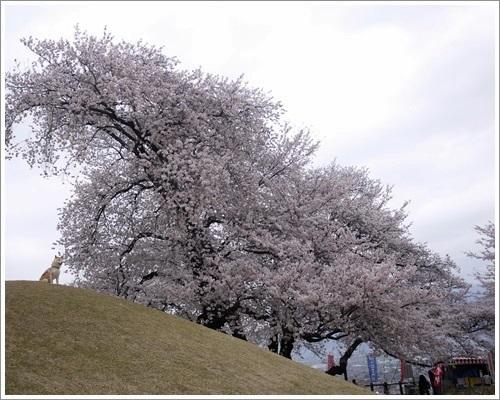 八代桜13