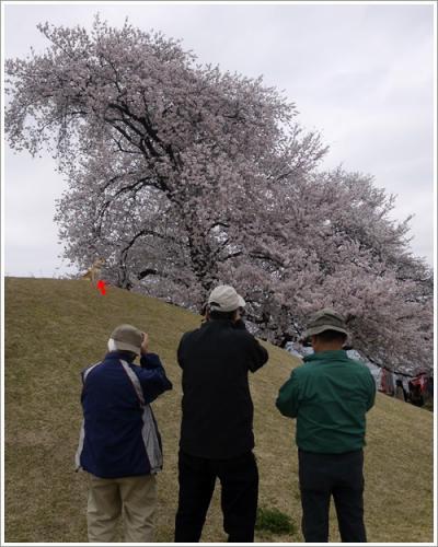 八代桜14