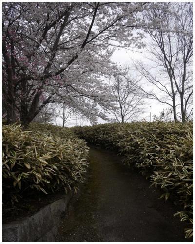 八代桜11