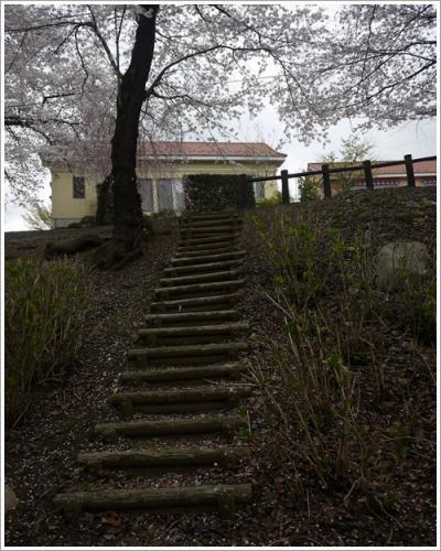 八代桜15