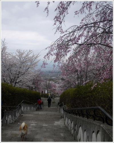 八代の桜4