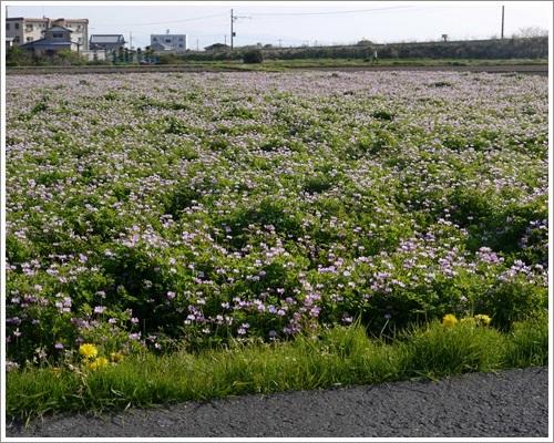 れんげ畑と菜の花畑