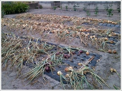 ハプニング後の玉ねぎ収穫