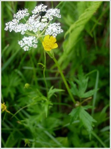 高山植物8