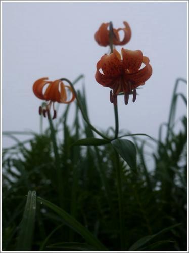 高山植物9