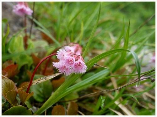 高山植物11