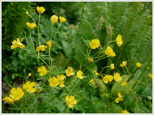 高山植物12