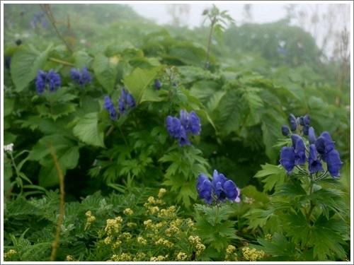 高山植物14