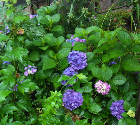 信号の下の紫陽花