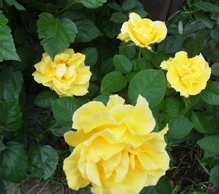 黄色の薔薇 駅前