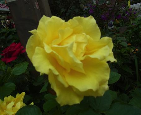 薔薇って難しい
