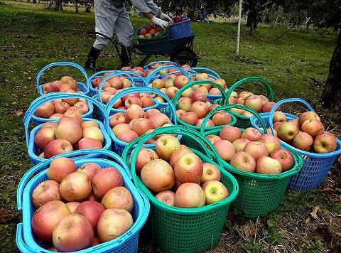 20131018【画像】リンゴ被害状況調査<矢板市>03_1