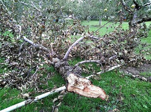 20131018【画像】リンゴ被害状況調査<矢板市>06_1