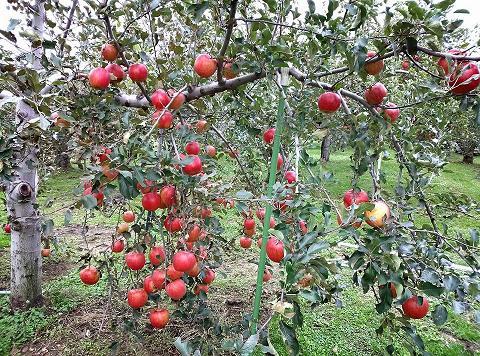 20131018【画像】リンゴ被害状況調査<矢板市>08_1