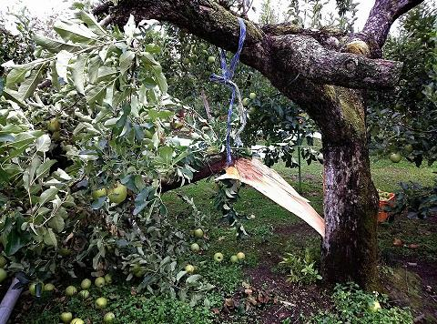20131018【画像】リンゴ被害状況調査<矢板市>10_1