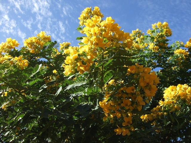 モロカイ島508黄花